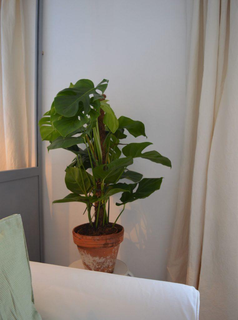 Scandi hygge monstera plant verrière decor